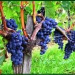 EDL grapevine